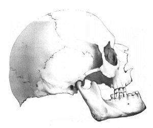 Il cranio di Petrarca come immortalato dal disegnatore dell'équipe di Giovanni Canestrini, alla riapertura della tomba nel 1873 (da Le ossa di Francesco Petrarca: studio antropologico, Padova 1874).